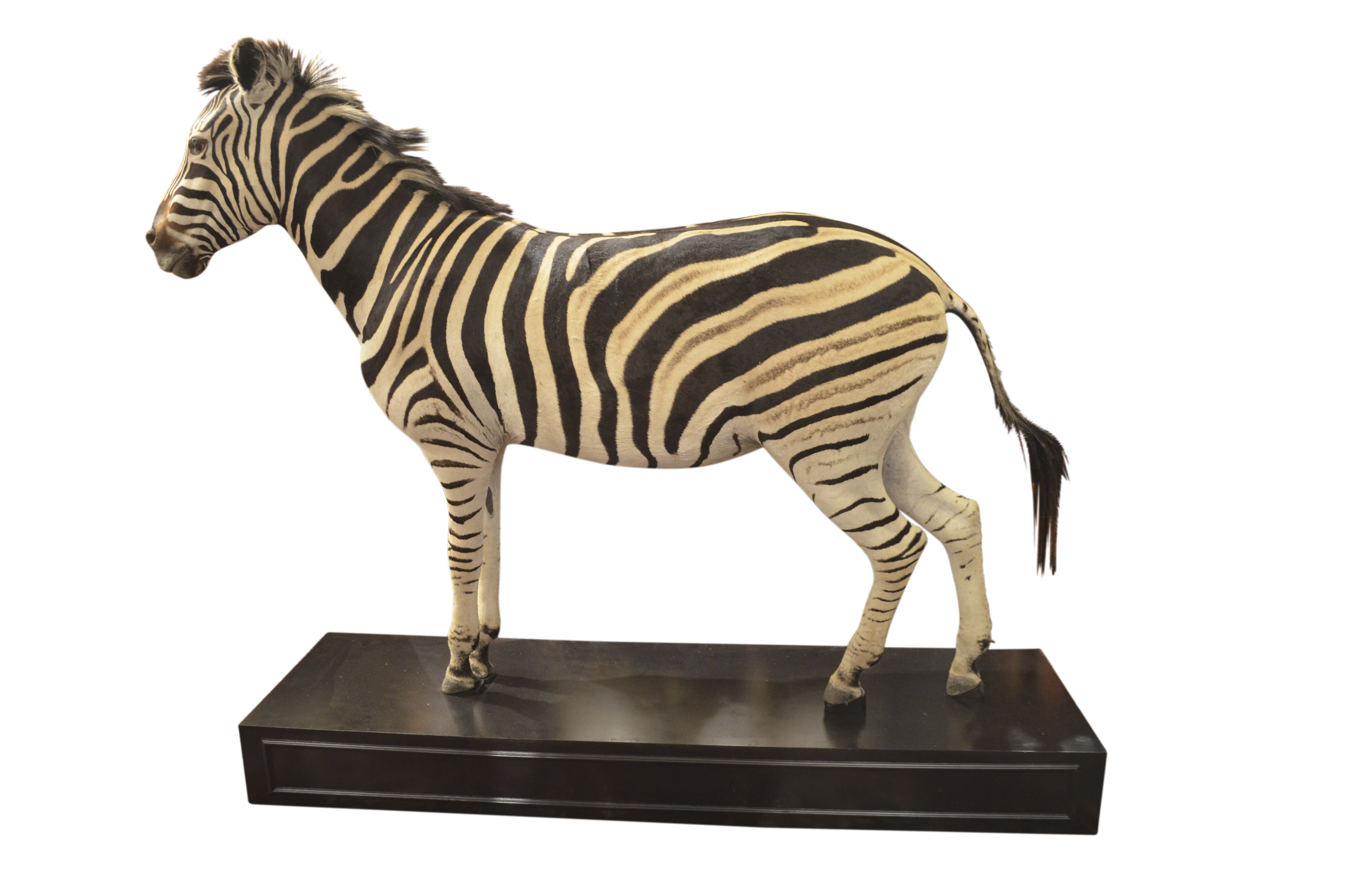 A Wonderful Male Full Mount Taxidermy Burchell's Plains Zebra on Ebonized Stand.