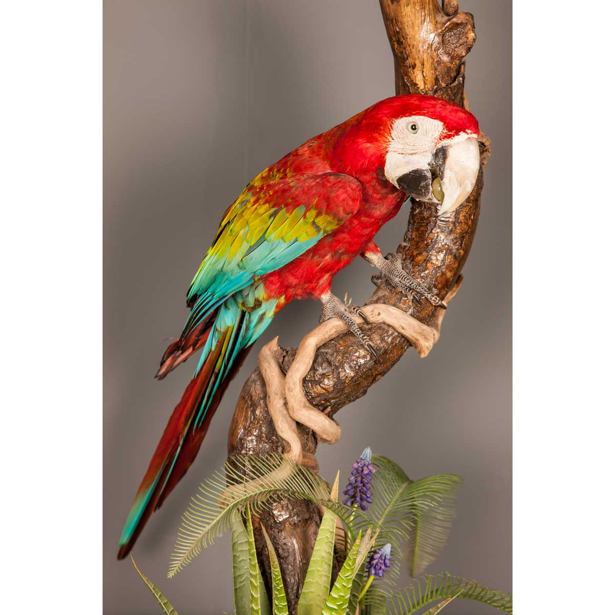 Taxidermy South American Macaw
