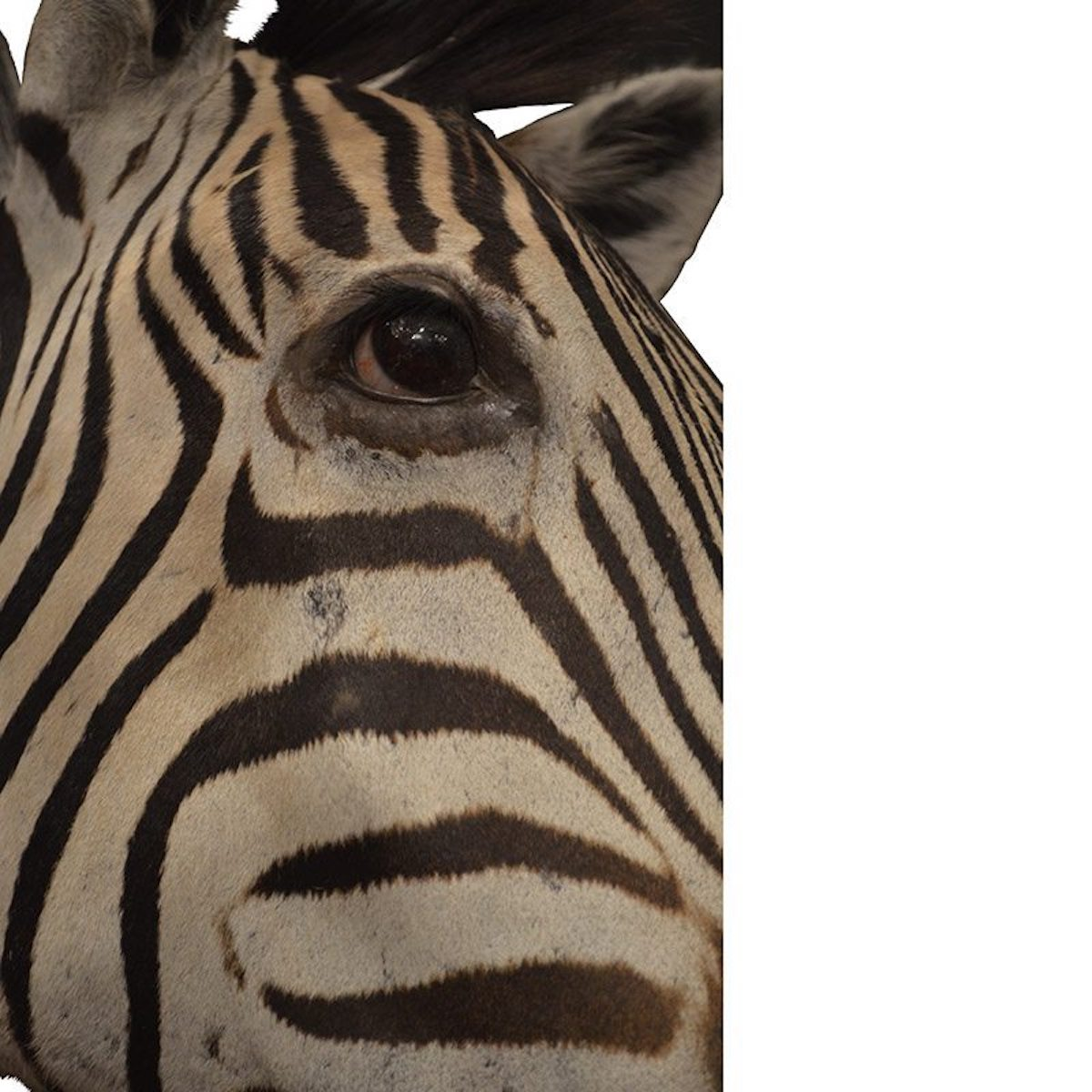 Wall Mounted Taxidermy South African Burchell's Zebra Head